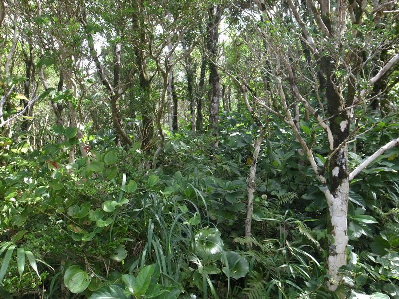 ツゲの木 原生林と植栽林がある